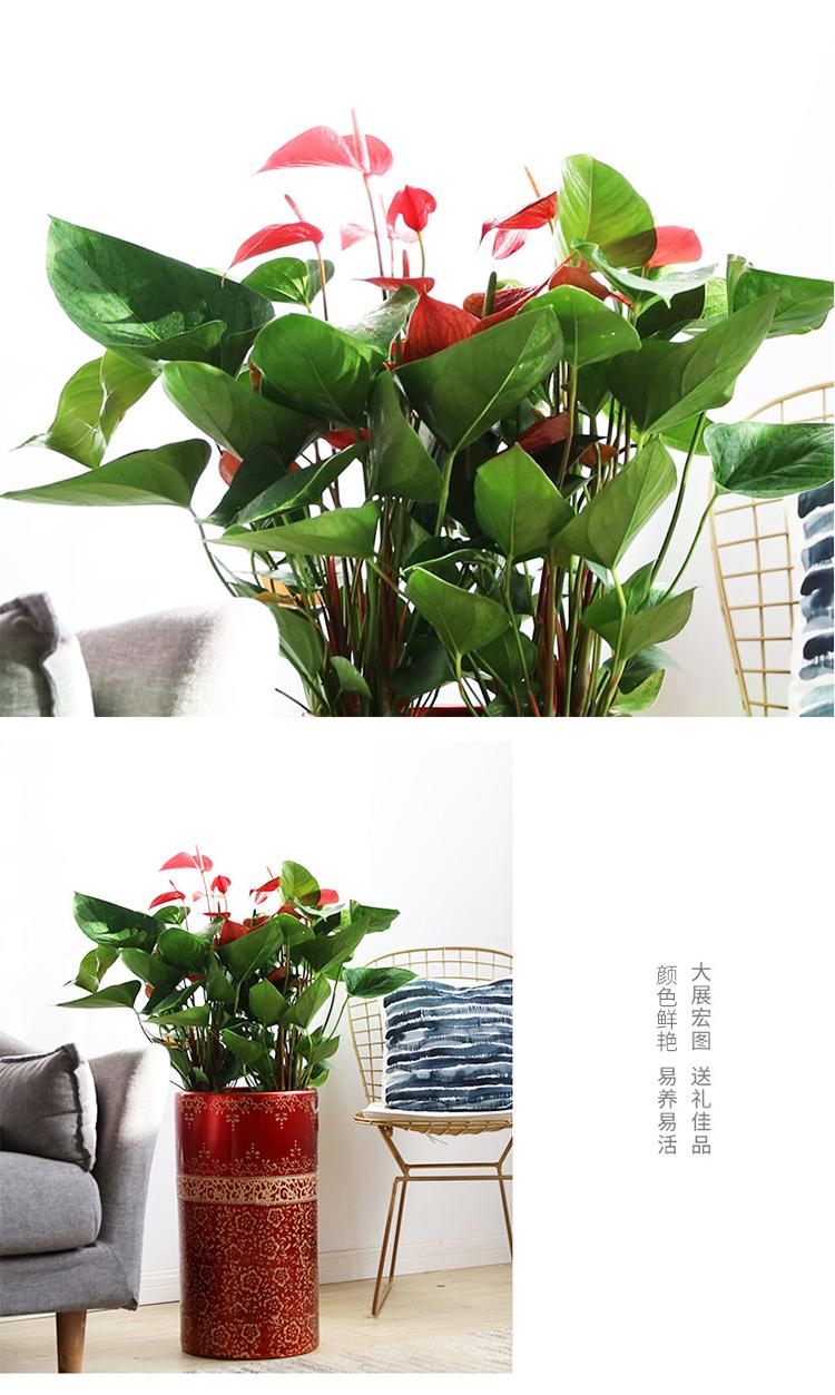 卉优 红掌盆栽绿植花卉室内客厅办公室净化空气观花植物花卉盆景 3颗装红掌水泥高方盆本色-京东